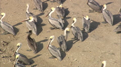 AERIAL United States-Pelicans And Other Birds On Small Tidal Island Stock Footage