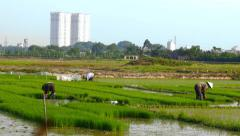 Rice farmers work as urban growth encroaches on rural land dolly shot Stock Footage
