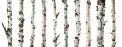 Birch trunks isolated on white background Stock Photos