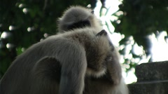 Couple of monkey on a tree and have fun 1 Stock Footage