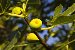 Fig tree Stock Photos