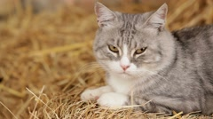 Grey Cat Monitoring Territory Stock Footage