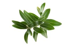 Olive branch isolated on the white - stock photo