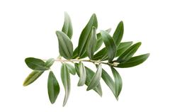 Stock Photo of Olive branch isolated on the white