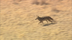 AERIAL United States-Coyote On The Run Stock Footage