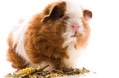 Baby guinea pig. texel Stock Photos