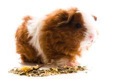 baby guinea pig. texel - stock photo