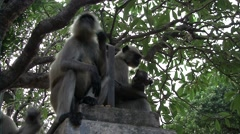 Family of monkey on a rock Stock Footage