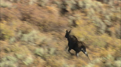 AERIAL United States-Moose On The Run Stock Footage