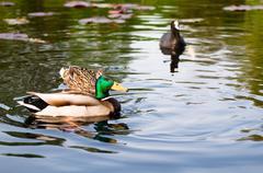 ducks in water of lake - stock photo