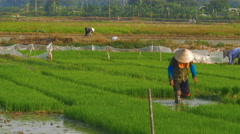 Rice farmers work in lush rice paddies wearing bamboo peasant farmer hats Stock Footage