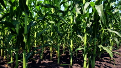 The young shoots of maize. A field of corn Stock Footage