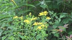 Hutsul Region, Hypericum plant Stock Footage