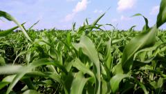 Cultivation of sorghum. Green field of sorghum - stock footage