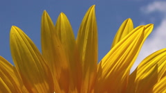 Sunflower Detail from Agricultural Field on Sunny Summer Day Stock Footage