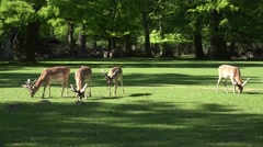 4k Red Deers group eating in sunny in sunny grassland Stock Footage