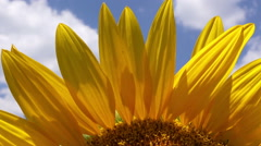 Sunflower Detail from Agricultural Field - stock footage