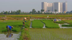 Rice farmers work as new skyscrapers are being constructed in rural areas Stock Footage