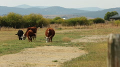 Cows grazing in green and brown field with scenic mountains in background summer - stock footage