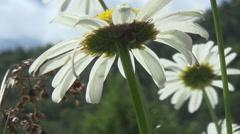 Polonyna, chamomile, spruce Stock Footage