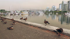 Canada Geese on Vancouver Seawall - stock footage