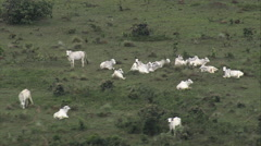 AERIAL Brazil-White Cattle Just North Of Brasilia Stock Footage