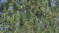 Detail green needles of the pine tree Stock Footage