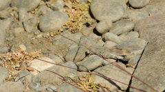 CRICKET CRAWLING OVER ROCKS AND SMALL PLANTS DESERT Stock Footage