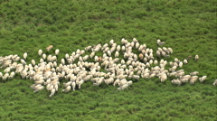 AERIAL Brazil-White Cattle In A Herd, Minas Gerais State Stock Footage