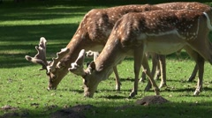 4k Red Deers close up eating on sunny grassland Stock Footage