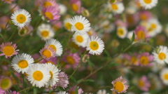 Colourful white and pink daisies. Shallow depth of field. Stock Footage