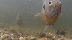 Bluegills Fish Feeding Underwater Stock Footage