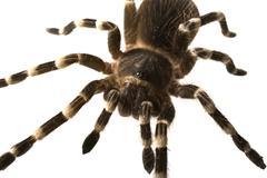 Giant tarantula Acanthoscurria geniculata isolated Stock Photos