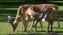 Red Deers group close up on sunny grassland Stock Footage