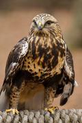 Rough-legged Hawk Stock Photos