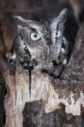 A screech owl portrait - stock photo