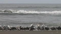 Seagulls, Gulls, Birds, Fly, Flight, Flying Arkistovideo