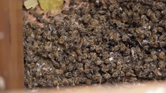 Dead Bees in honey bee hive / pests and diseases Stock Footage