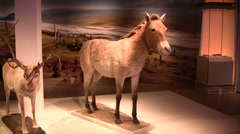 Stock Video Footage of Lifesize replica of a wild horse on display in a museum