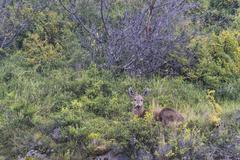 South Andean Deer Hippocamelus bisulcus Torres del Paine National Park Chilean - stock photo