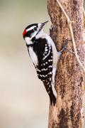Downy Woodpecker (male) Stock Photos