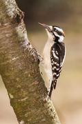 Downy Woodpecker (male) - stock photo