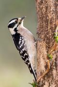 Female Downy Woodpecker - stock photo