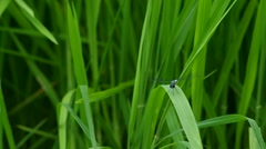 White-Tailed Skimmer dragonfly is flying around the leaf - stock footage