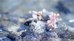 Cherry twig in mountain river. Stock Footage