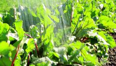 Watering beets in the garden. Stock Footage