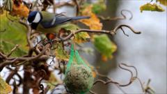 Blue tit and great on bird fat ball, winter Stock Footage