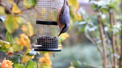 Bird nuthatch, autumn, winter, eating sunflower seeds Stock Footage