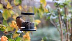 Bird nuthatch, autumn, winter, eating sunflower seeds Stock Footage