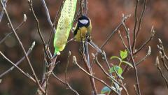 Great tit titmouse on fat bird feeder with peanuts Stock Footage